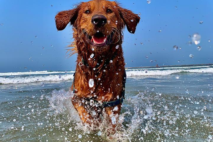Golden Retriever plays off leash at The Original Dog Beach, CA.