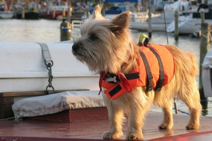Terrier with a life jacket on a boat in Maryland.