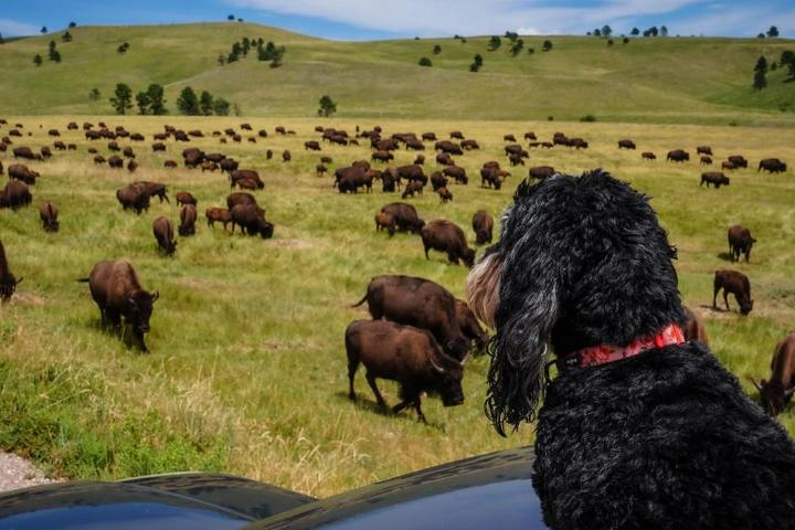 A dog watching bison at Custer State Park.
