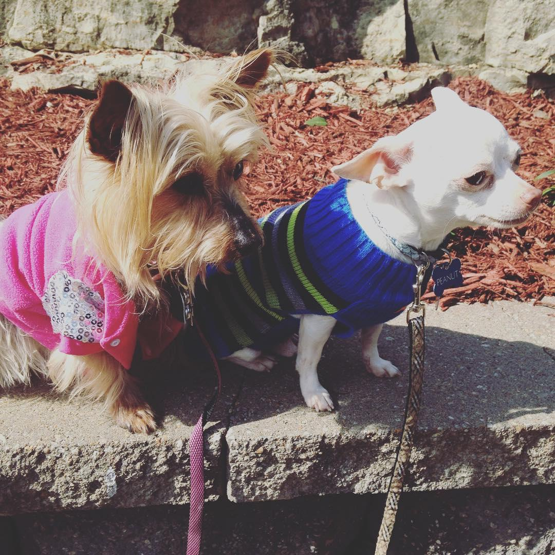A Chihuahua and a Yorkie pose at the dog-friendly Short Smalls in Branson, MO.