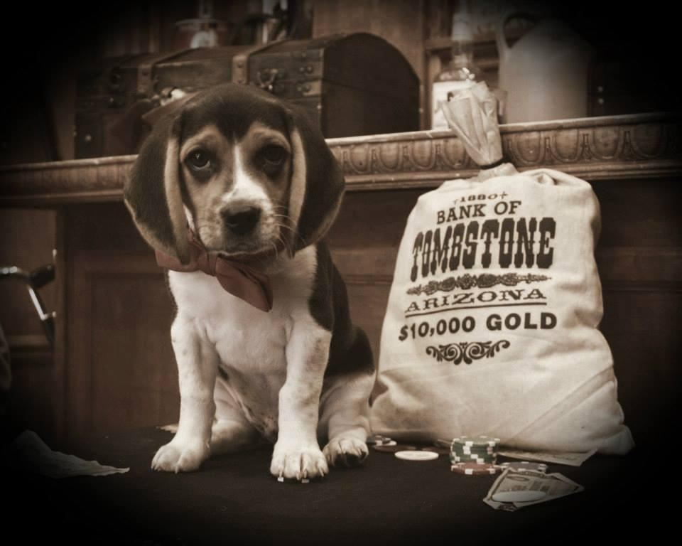 A Beagle poses for an old-timey photo.