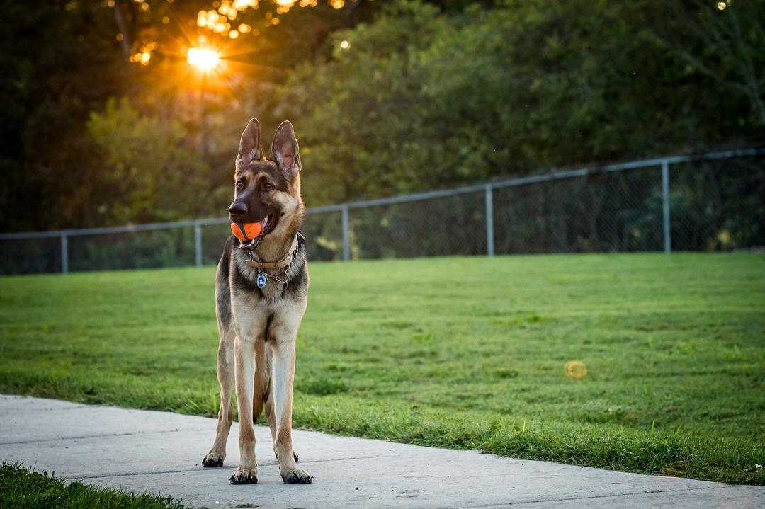 A German Shepherd stands in the dog park with a ball in his mouth at the Elmo and Rosalea Marrs Memorial Dog Park