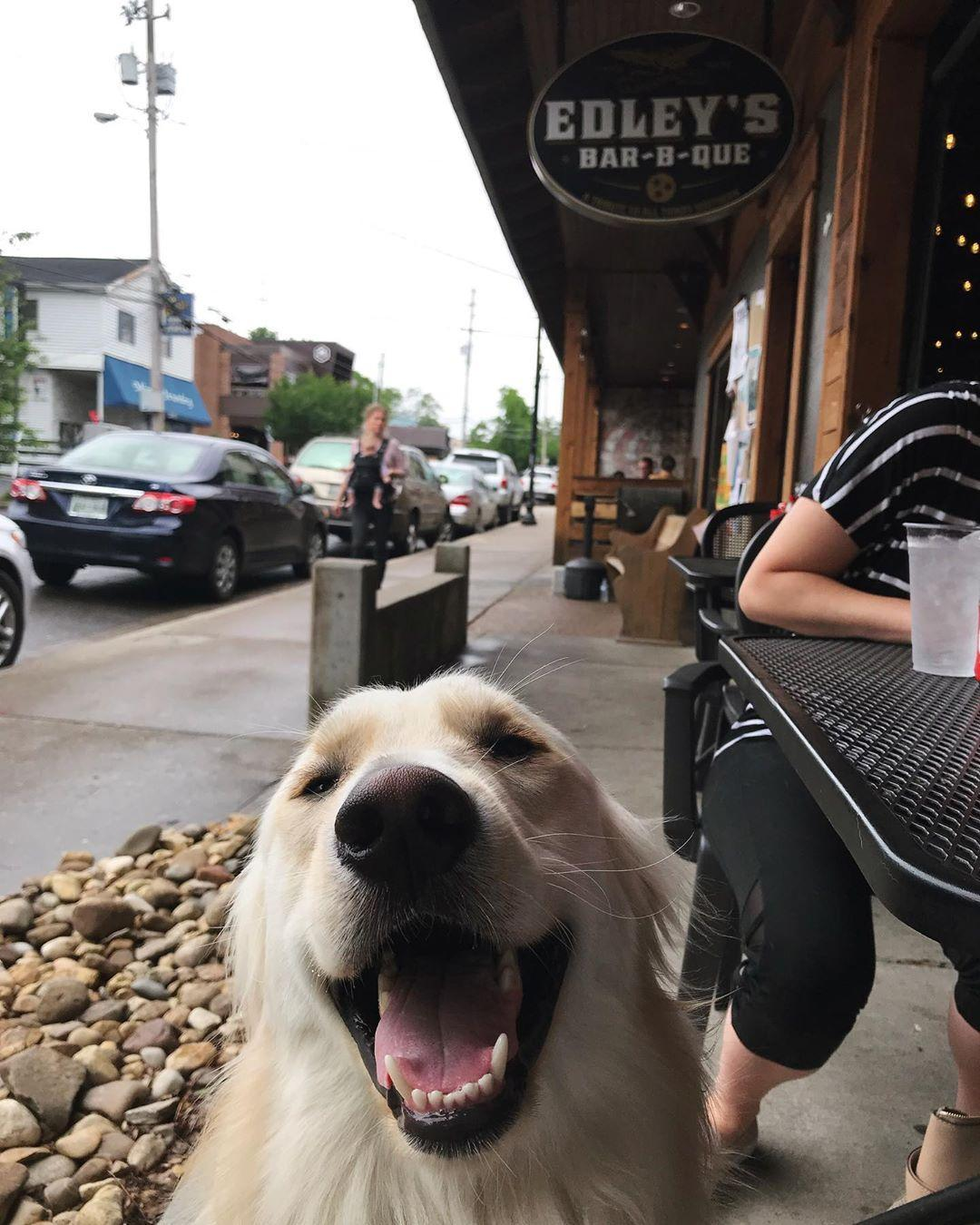 A happy Golden Retreiver smiles on the patio of Edley's BBQ in dog-friendly Nashville.