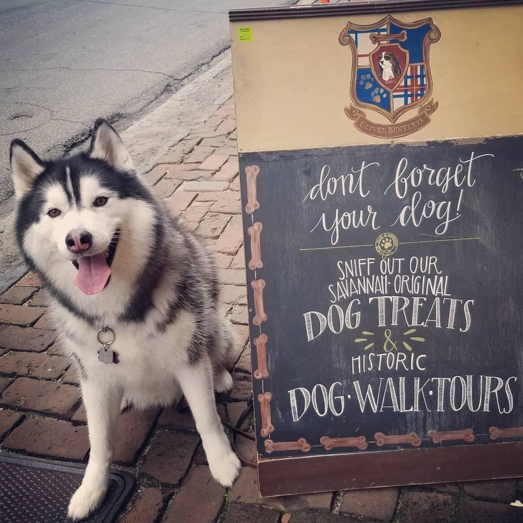 A husky sits beside a signboard for Oliver Bentleys, a dog bakery in Savannah.