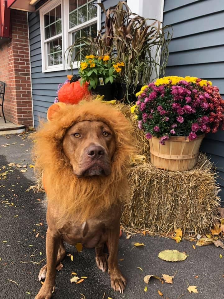 A Dog Wears a Lion Halloween Costume.