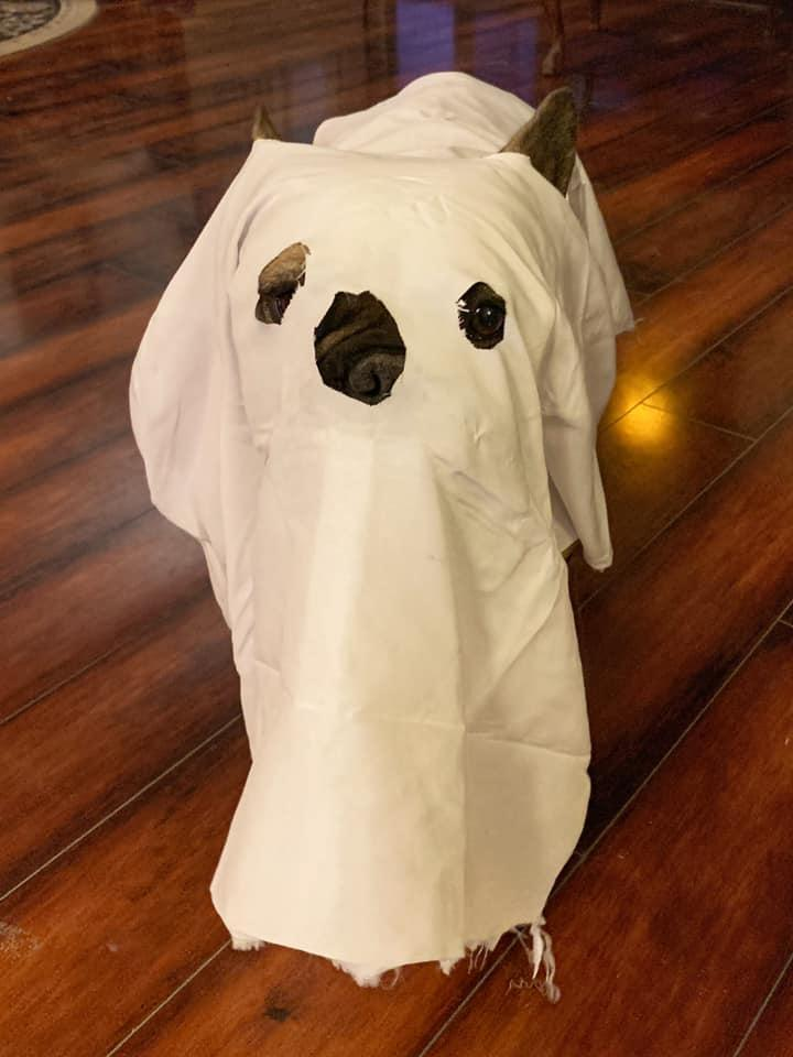 A Dog Dressed in a Halloween Costume as a Ghost.