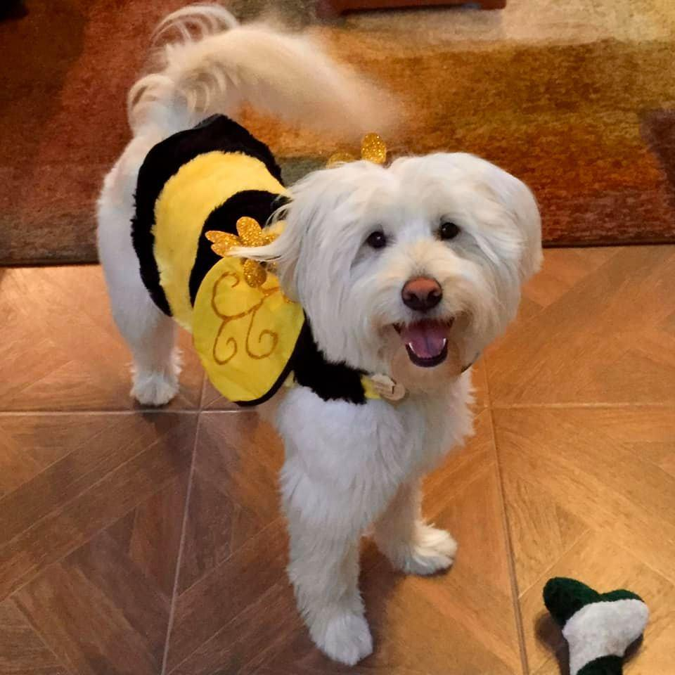 A Dog Dressed in a Halloween Costume as a Bumblebee.