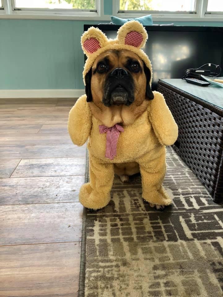 A Dog Dress in a Halloween Costume as a Teddybear.