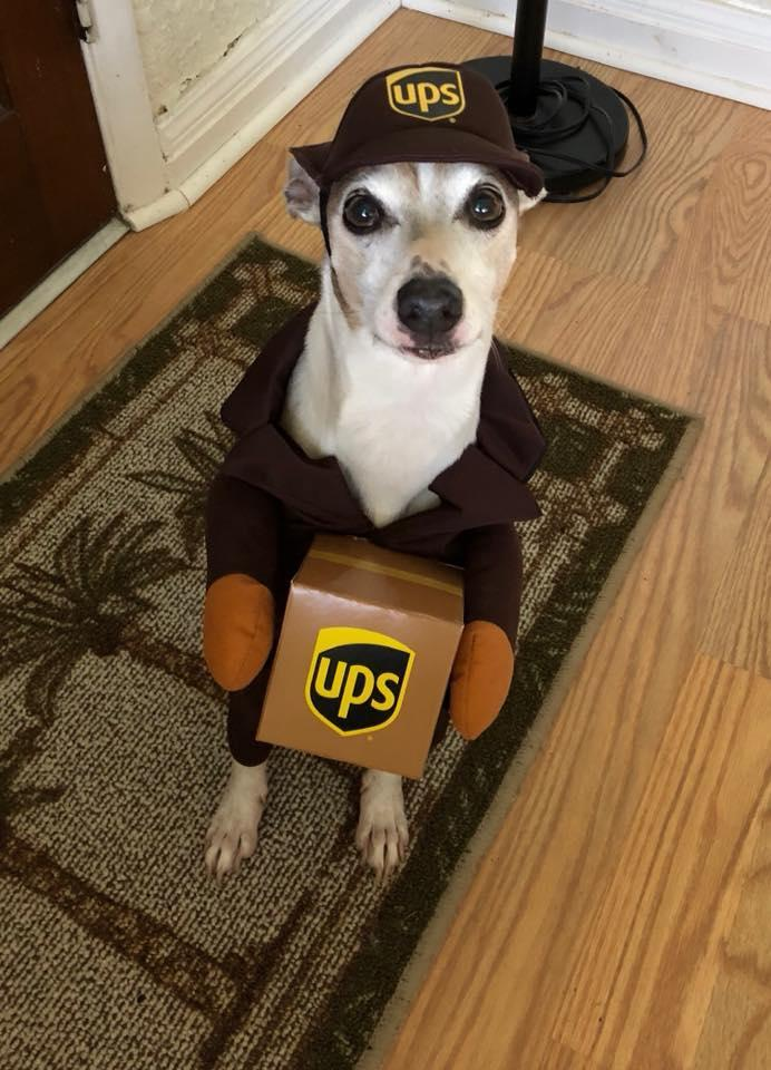 Dog dressed in a UPS Costume