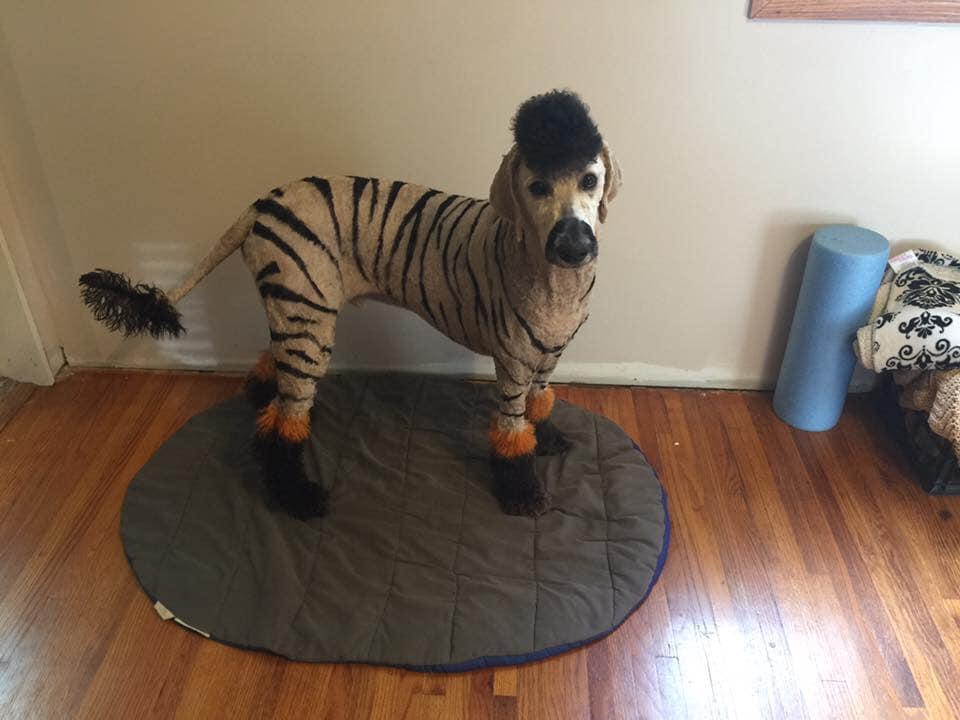 A Dog in a Zebra Halloween Costume.