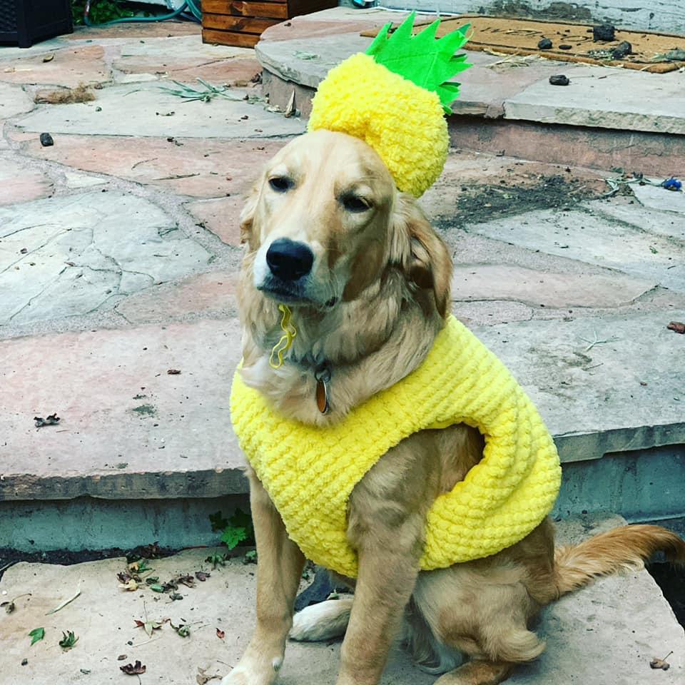 A Golden Retriever Dressed as a Pineapple.