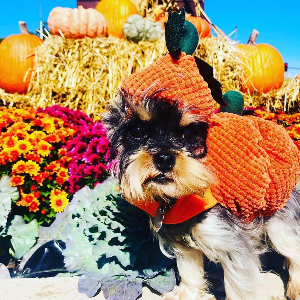 A Yorkie Dressed in a Halloween Costume as a Pumpkin.