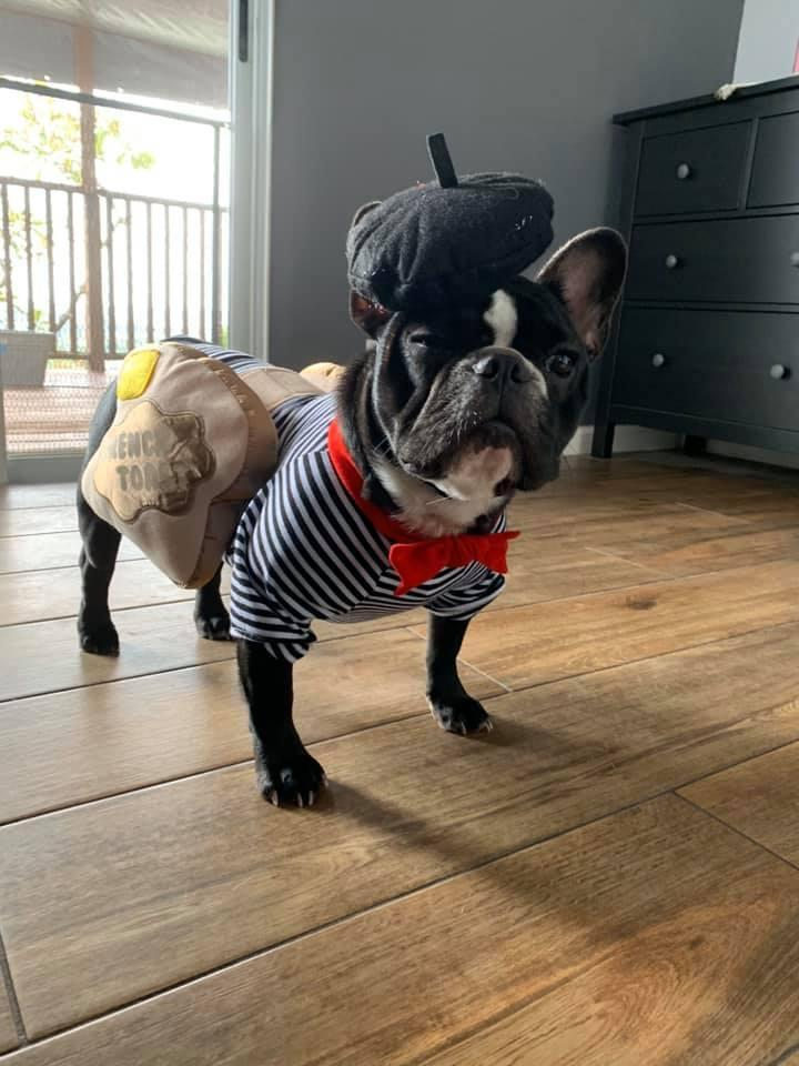 A Boston Terrier dressed as French Toast
