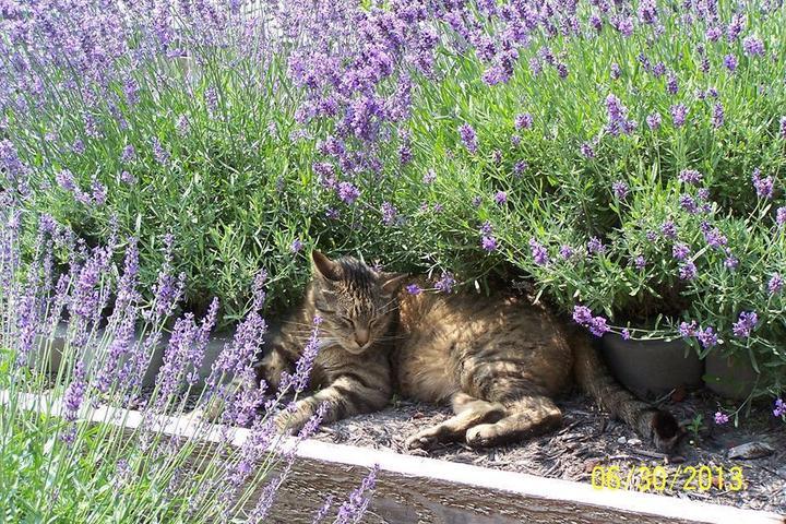 Pet Friendly Loess Hills Lavender Farm