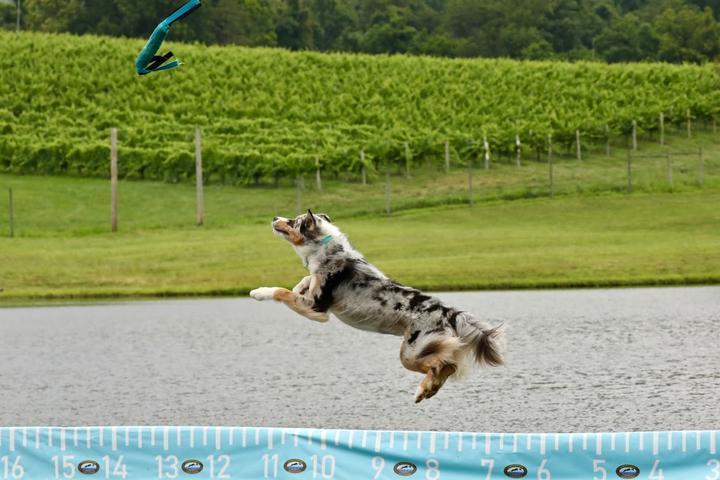 Pet Friendly Australian Shepherd Gathering World Record Attempt