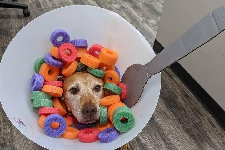 Dog dressed up as bowl of cereal for Halloween costume.