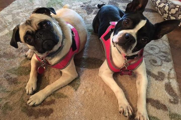 Pet Friendly MidAmerica Boston Terrier Rescue