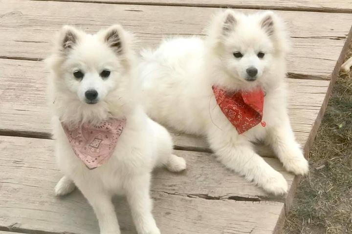 Pet Friendly Wasatch Eskimo Puppies