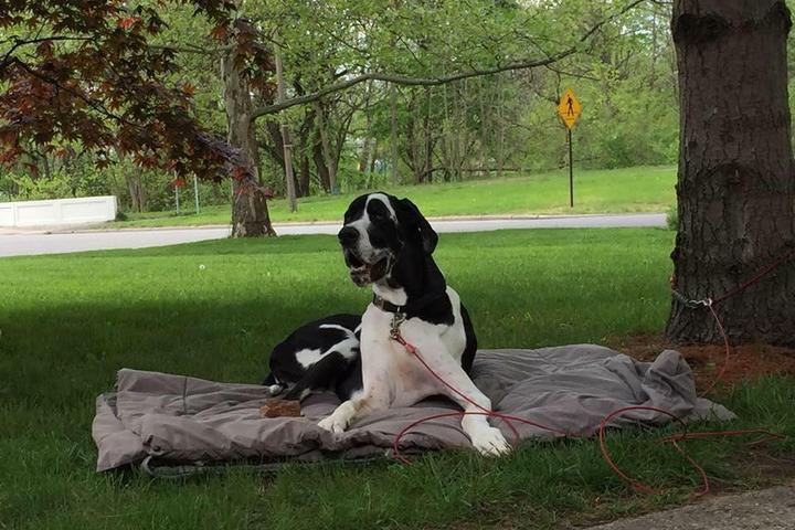 Pet Friendly Forever Friends Great Dane Rescue, Inc.
