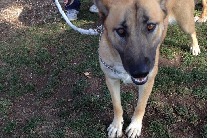 Pet Friendly German Shepherd Rescue of Orange County